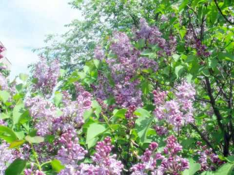 Запах сирени (The smell of lilacs)